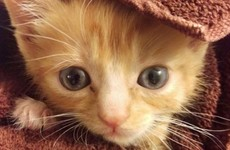 This disabled kitten was found by a vet so they built him the cutest wheelchair