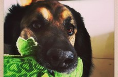 This Instagram account documents a Cork rescue dog and all his adorable foster pals