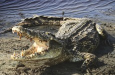 Crocodiles known to prey on humans discovered in Florida - 6,000 miles from usual habitat