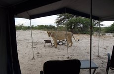 These campers on safari woke up to find a bunch of lions licking water off their tent
