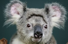 It's Friday so here's a slideshow of koalas from around the world