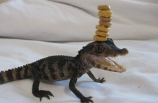 Someone has taken the Cheerio Challenge to the next level with their pet lizard