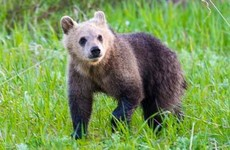 Beloved American grizzly bear cub killed in suspected hit-and-run
