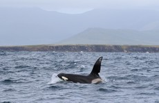 Killer whale spotted off the coast of Kerry