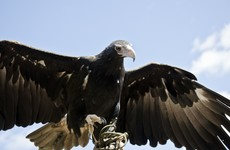 Wedge-tailed eagle attacks boy at bird of prey show in Australia