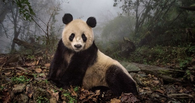 These pictures of pandas will improve your day