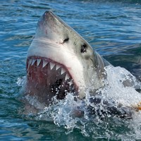 Sharks in South Africa that regularly maul people are now facing extinction