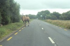 A camel was spotted wandering around Killorglin yesterday afternoon