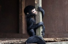A new cute baby spider monkey has been born at Fota