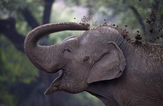 Elephant who walked 1,000km after becoming separated from its herd rescued