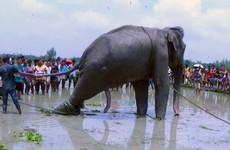 Elephant that travelled 1,700km from India to Bangladesh dies despite efforts to save him