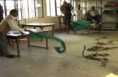 Snakes unleashed in Indian tax office in anti-bribery protest