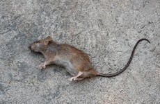 Dead rat thrown into Dublin City Council offices during protests