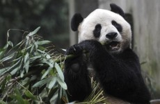 Two giant pandas from China land in Scotland