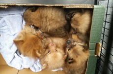 Gardaí rescue five Pomeranian puppies from van on way to England
