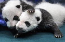The giant panda is no longer endangered in China
