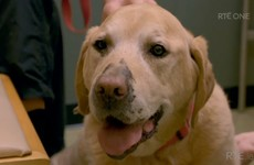 Everyone fell in love with Frankie the Waterford Labrador on RTÉ last night