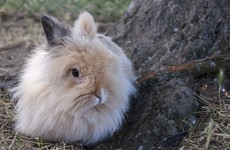 Animal rights group releases secret video footage of rabbits to call for angora ban