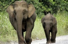 Pygmy elephant gores Australian tourist to death