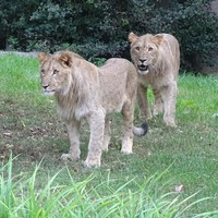Lion shot dead after two escape from enclosure in German zoo