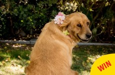 This dog's maternity photo shoot couldn't have worked out better