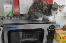 Woman who killed cat in microwave jailed for 168 days