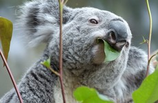 Australian police stop woman in the street, find koala in her bag