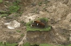 These three cows have been left stranded after New Zealand's powerful quake