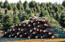 Gardaí to step up patrols targeting Christmas tree thieves