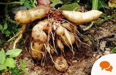 GIY Yacon: The Peruvian tuber that looks like a potato but tastes like a pear