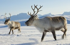 Reindeer are shrinking: Warmer weather threatens Christmas icon