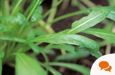 Mibuna: The mustardy Japanese leaf that's super easy to grow