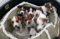 Thirteen puppies destined for UK market seized at Dublin Port