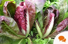 GIY Chicory: Bring some colour to your vegetable patch and a bite to your salad bowls