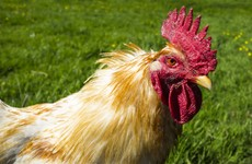 Poultry owners warned to keep their birds indoors