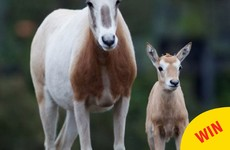 Dublin Zoo's Facebook page is hopping over this adorable little newborn oryx
