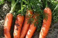 Выращивание моркови как бизнес: организация и план - бизнес идеи 20