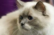 Police think poisoned cat meat killed Chinese tycoon