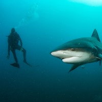 55-year-old Australian diver 'lucky to be alive' after being mauled by giant bull shark