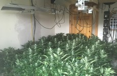 Gardaí seize 175 cannabis plants from Leitrim growhouse