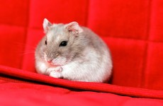 Corn diet turning French hamsters into deranged cannibals which eat their young