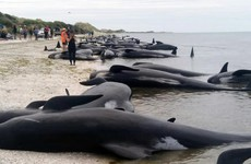 Hundreds of whales die after becoming stranded on New Zealand beach