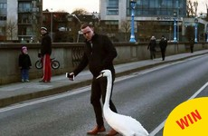 A Limerick man helping a swan cross the road has become a hero on Facebook