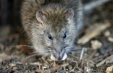 First-ever cluster of Weil's disease in New York kills one