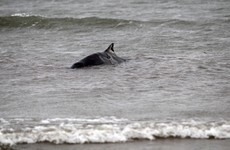 56 dolphins and whales have washed up on Irish beaches so far this year