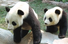 52 seconds of passion: Two giant pandas mated for the first time in four years today