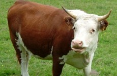 Mayo farmer dies after being gored by bull