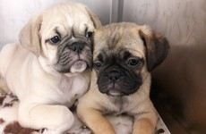 Four 'designer pups' seized at Dublin Port after being discovered in carry on luggage