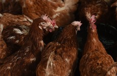 Why thousands of Irish chickens could soon be stripped of their free-range status