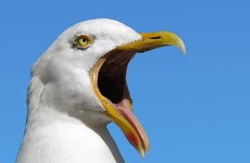 Senator suggests using lasers to keep 'aggressive' seagulls at bay